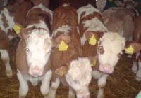 Praca sezonowa w Niemczech – gospodarstwo hodowlane