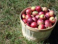 Praca sezonowa przy zbiorach jabłek w Niemczech