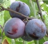 Praca przy zbiorach wiśni – gruszek w Niemczech
