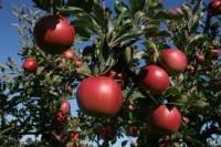 Niemcy praca – zbiory jabłek i gruszek od zaraz