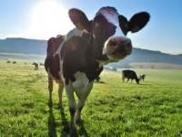 Praca na farmie w Niemczech przy hodowli krów od zaraz