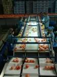 Praca sezonowa w Niemczech przy sortowaniu w przetwórni owoców i warzyw
