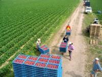 Praca w Niemczech przy zbiorach truskawek 2013 – rolnictwo