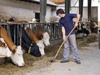 Rolnictwo – fizyczna praca na farmie w Niemczech przy krowach