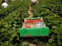 Rolnictwo – praca przy truskawkach w Niemczech – zbiory 2013, bez języka
