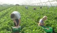 Sezonowa praca w Niemczech przy zbiorach warzyw, owoców 2013