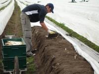 Rolnictwo oferty pracy w Niemczech przy zbiorach szparagów Duisburg 2014