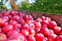Praca w Niemczech bez języka od sierpnia 2014 przy zbiorach owoców Drezno