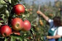 Sezonowa praca Niemcy w sadzie przy zbiorach owoców-jabłek bez języka