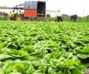 Niemcy praca bez języka przy zbiorach warzyw pietruszki, szczypiorku, koperku