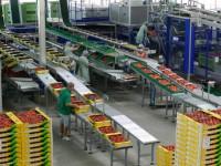 Bez języka Niemcy praca przy pakowaniu owoców na linii produkcyjnej Kolonia