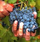 Dam sezonową pracę w Niemczech bez języka przy zbiorach winogron Koblencja