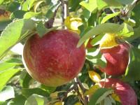 Od zaraz sezonowa praca w Niemczech zbiory jabłek w sadzie bez języka