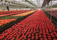 Praca Niemcy bez znajomości języka przy zbiorach kwiatów na wakacje