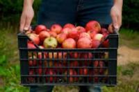 Od zaraz dam pracę w Niemczech bez języka w sadzie zbiory jabłek Dortmund