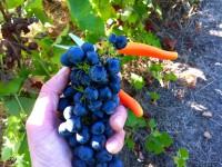 Niemcy praca sezonowa zbiory winogron-winobranie od zaraz bez języka Karlsruhe