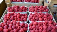 Niemcy praca sezonowa bez języka przy zbiorach warzyw, owoców na rok 2015!