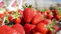 Oferta pracy w Niemczech zbiory truskawek dla studentów 06.2015 Drezno