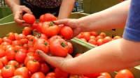 Dam sezonową pracę w Niemczech przy zbiorach pomidorów od kwietnia 2015