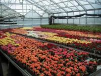 Ogrodnictwo Niemcy praca sezonowa przy roślinach ozdobnych od maja 2015
