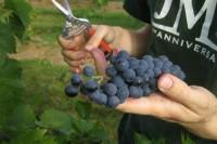 Winobranie 2015 sezonowa praca Niemcy od września przy zbiorach winogron