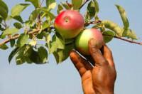 Od zaraz dam sezonową pracę w Niemczech przy zbiorach jabłek Zgorzelec