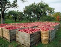 Niemcy praca sezonowa przy zbiorach jabłek bez języka od zaraz Stuttgart