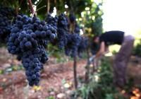 Dam sezonową pracę w Niemczech przy zbiorach winogron bez języka Fryburg
