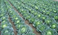 Oferta sezonowej pracy w Niemczech przy zbiorach warzyw bez języka 2016 Cappeln