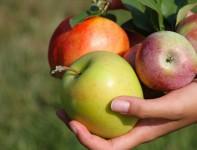 Od zaraz dam sezonową pracę w Niemczech przy zbiorach jabłek bez języka