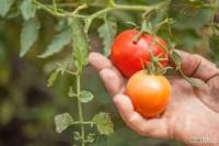 Niemcy praca sezonowa w Fürstenwalde przy zbiorach pomidorów w szklarni bez języka