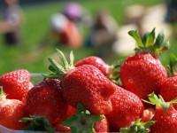Sezonowa praca Niemcy przy zbiorach truskawek bez języka w Jülich-Broich