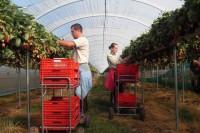 Praca w Niemczech Augsburg sezonowa bez języka przy zbiorach malin, szparagów i truskawek od kwietnia 2016