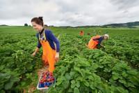 Sezonowa praca Niemcy przy zbiorach szparagów i truskawek bez języka Berlin 2016