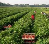 Sezonowa praca w Niemczech zbiory truskawek bez języka Cloppenburg