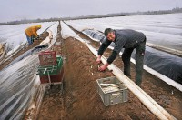 Sezonowa praca Niemcy przy zbiorach szparagów bez znajomości języka Bawaria