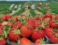 Oferta sezonowej pracy w Niemczech zbiory buraków i truskawek Göttingen
