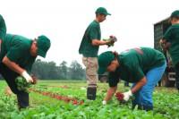 Dam sezonową pracę w Niemczech zbiory warzyw bez znajomości języka Dortmund