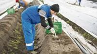 Niemcy praca sezonowa od zaraz dla Polaków przy zbiorach szparagów 2017
