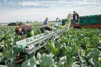 Od zaraz praca sezonowa w Niemczech przy zbiorach ogórków i pomidorów Radebeul