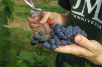 Od zaraz dam pracę w Niemczech bez języka przy zbiorach winogron Walldorf
