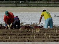 Od marca Niemcy praca sezonowa bez języka przy zbiorach szparagów Fellbach