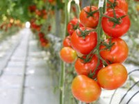 Od zaraz oferta sezonowej pracy w Niemczech przy zbiorach warzyw Magdeburg