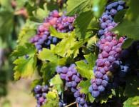 Bez języka oferta sezonowej pracy w Niemczech od zaraz zbiory winogron Karlsruhe