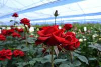 Od zaraz oferta sezonowej pracy w Niemczech bez języka przy kwiatach ogrodnictwo 2020 Straelen