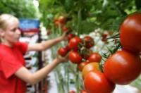 Sezonowa praca Niemcy bez języka przy zbiorach warzyw w szklarni od zaraz Löbau 2020