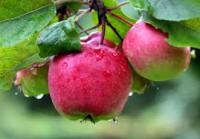 Dam sezonową pracę w Niemczech bez języka przy zbiorach jabłek od września 2020 Neuendeich