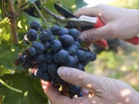 Bez znajomości języka Niemcy praca sezonowa przy zbiorach winogron od zaraz dla studentów Fryburg