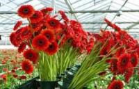Bez języka dam sezonową pracę w Niemczech ogrodnictwo przy kwiatach i pomidorach od zaraz Emsbüren