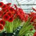 produkcja_kwiatów_praca-2020